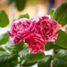 Romantickú atmosféru prinesie slávnosť ruží
